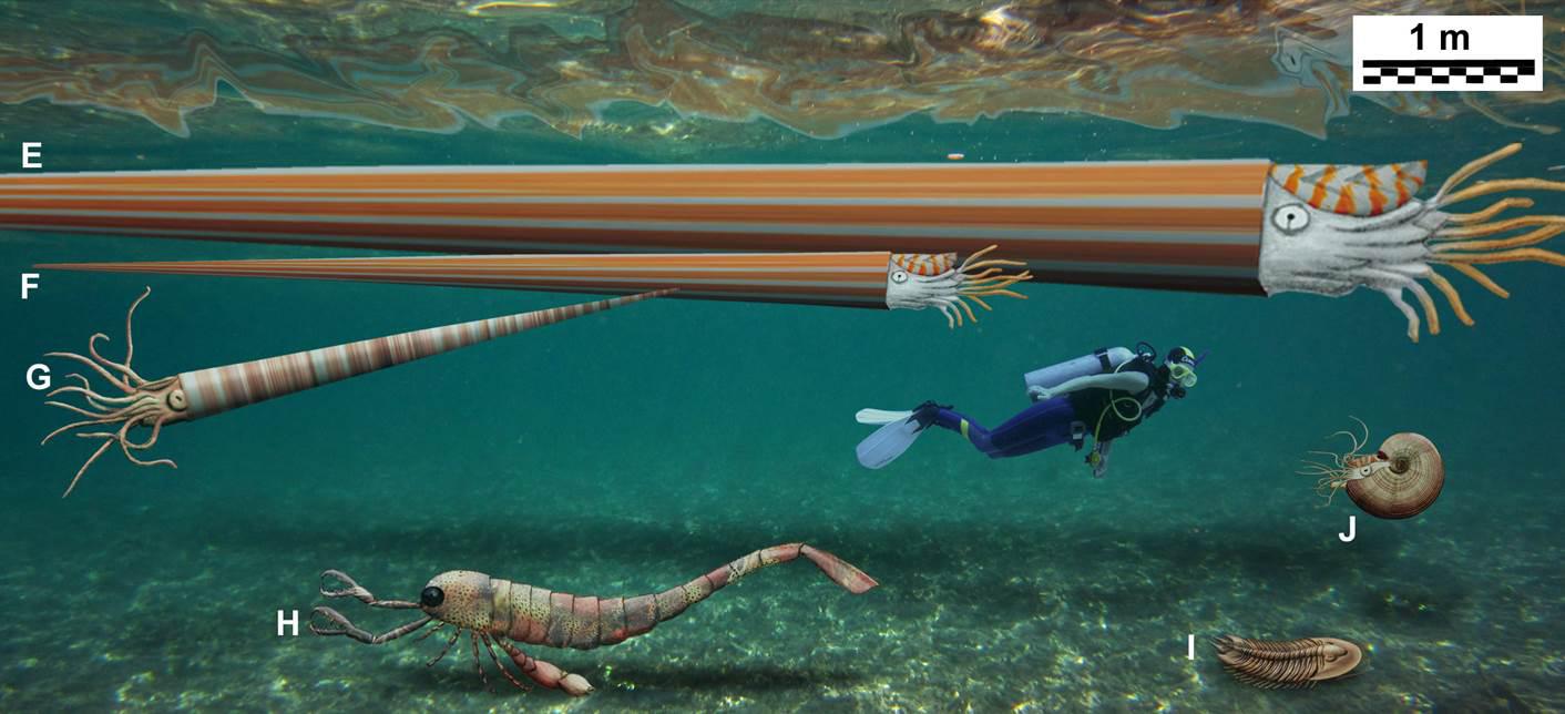 Der Mensch wirkt winzig im Vergleich zu diesen Rekonstruktionen von gigantischen marinen Wirbellosen des Paläozoikum: Kopffüßer: E) Nautiloidee Endoceras giganteum, Oberordovizium, USA: Gehäuselänge ca. 9 Meter, F) Nautiloidee Endoceras giganteum, Oberordovizium, USA, rekonstruierte Gehäuselänge ca. 4.5 Meter (basierend auf einem Exemplar des Harvard Museums für vergleichende Zoologie), G) Nautiloidee Deiroceras hollardi, Unterdevon, Morocco, rekonstruierte Gehäuselänge 3 Meter, J) Ammonoidee Carinoceras sp., Oberdevon, USA, max. Gehäusedurchmesser 50 Zentimeter; Gliederfüßer: H) Seeskorpion Jaekelopterus rhenaniae, Unterdevon, Deutschland, rekonstruierte Länge: 2.5 Meter (ohne Cheliceren); I) Trilobit Hungioides bohemicus, Oberordovizium, Portugal, Länge 80–90 Zentimeter. (Bild: Christian Klug (aus Klug et al. 2014))