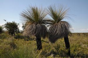 Der Grasbaum Xanthorrhoea preisii (Bild: Walter Welß)
