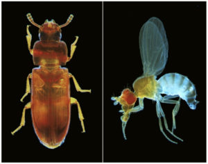 The red flour beetle (left) and the common fruit fly, Drosophila melanogaster, are two model organisms used for genetic analysis. FAU biologists have analysed more than 5300 of the red flour beetle's genes, discovering some that were previously unknown. (Photo: Gregor Bucher)