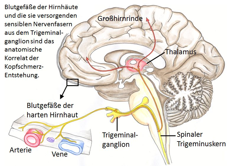 Eine Abbildung eines gezeichneten Gehirns mit den entsprechenden Nervenfasern zur Erklärung von den Ursachen von Kopfschmerzen