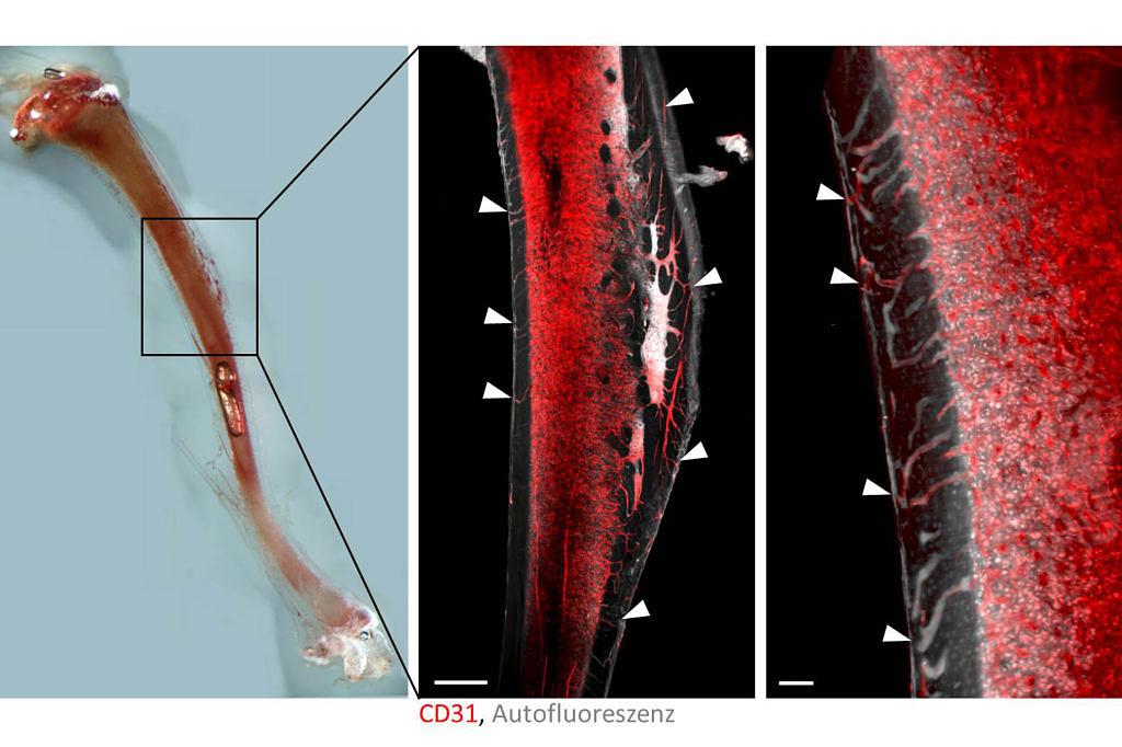 Blutgefäß Nahaufnahmen