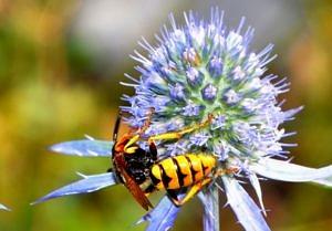 Nahaufnahme einer blauen Blume, auf der eine Biene sitzt.