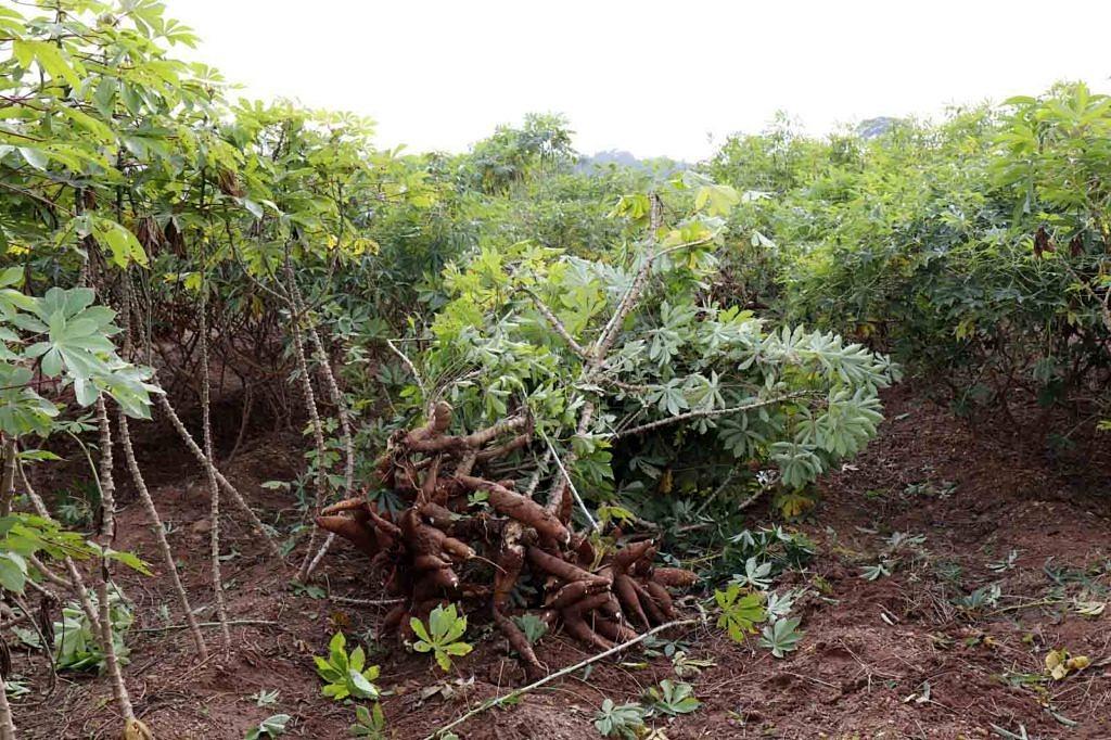 Maniokpflanzen